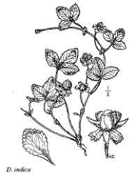 Sp. Duchesnea indica - florae.it