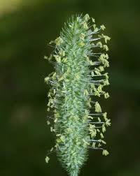 Online Virtual Flora of Wisconsin - Phleum pratense