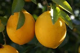 lemon tree x:  lemon yen ben