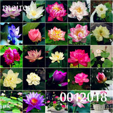 <b>High Quality 100</b>% <b>Original</b> 10 Pcs 9 mix Lotus SeedsFlower ...