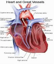 human anatomy and physiology  heart anatomy and anatomy and    human anatomy and physiology diagrams  heart and great vessels diagram