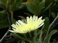 Geracio [Hieracium intybaceum]