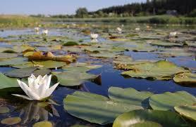 Картинки по запросу фото озеро с лилиями одесская обл