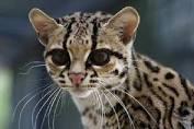 Wild Margay Cat Visits Bolivian School