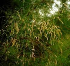 Tamaricaceae - Wikipedia