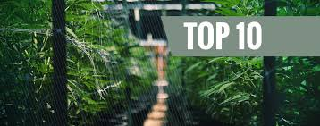 Top 10 Autoflowering <b>Outdoor</b> Strains - Zamnesia Blog
