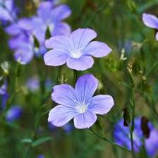 Spanish Blue Flax | Linum narbonense | High Country Gardens