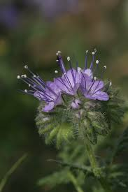 Phacelia tanacetifolia - Wikipedia