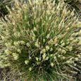 Carex Seeds - Carex Davalliana Ornamental Grass Seed