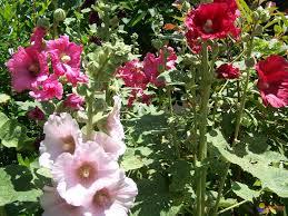 rose trèméliaire