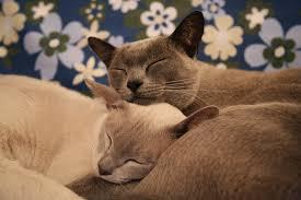 <b>Burmese</b> Cat — Full Profile, History, and Care