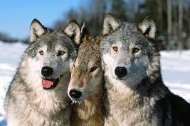 """Résultat de recherche d'images pour """"Vive les loups"""""""