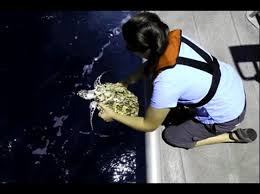 <b>Sea Turtle</b> Videos | <b>Flower</b> Garden Banks National <b>Marine</b> Sanctuary