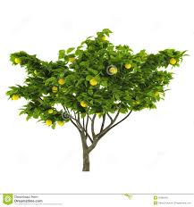 lemon tree x: citrus lemon tree isolated stock photography image   x