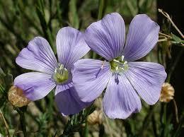 Linum lewisii Calflora