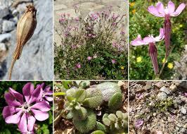 Silene colorata Poir. - Portale sulla flora del basso corso del ...