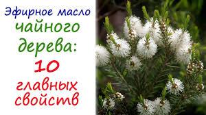 <b>Масло чайного дерева</b>: эфирное масло №1 в любой аптечке ...