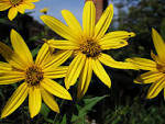 jerusalem artichoke sunflower