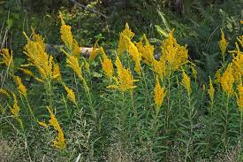Image result for goldenrod