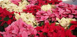 How to Grow Poinsettias Year-Round | Today