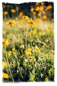 Arnica Montana | Arnicare for Pain Relief and Bruising