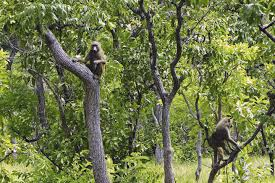 the environment in c ocirc te d ivoire challenges and opportunities comoeacute national park