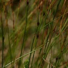 Juncus trifidus | Online Atlas of the British and Irish Flora