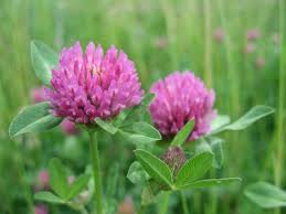Image result for red clover