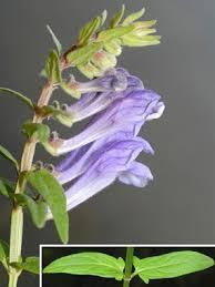 Scutellaria hastifolia L. | Naviga la Flora | Flora Modena