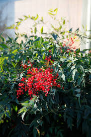 Image result for Free images of Nandina Domestica