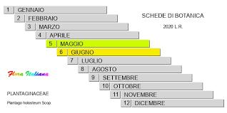 Plantago holosteum [Piantaggine a foglie carenate] - Flora Italiana