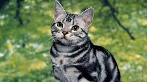 Image result for tabby cat