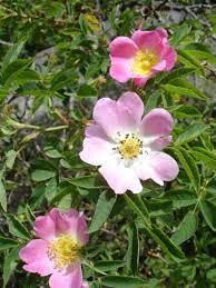 Glaucous dog rose