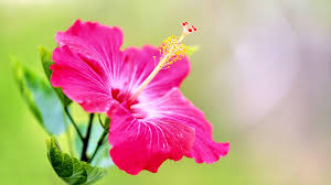 Image result for hibiscus flower