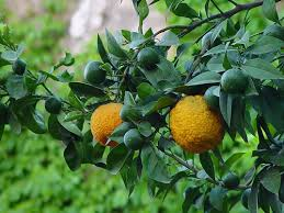 Image result for bergamot