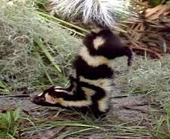 The spotted skunk  Images?q=tbn:ANd9GcQ3TSwmCZXaBSViWYQJpUaVpgMW4lGc88KwZx-xhSh3kPPa_IWqnA