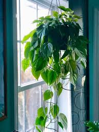 Picked up a <b>heartleaf</b> philodendron today! : houseplants ...