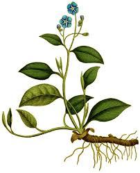 Omphalodes - Wikipedia