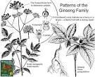 family araliaceae