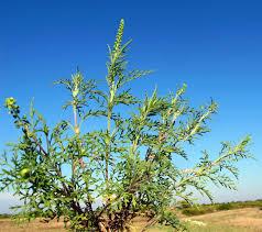 Ambrosia tenuifolia Spreng.
