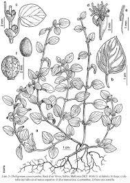 Theligonaceae