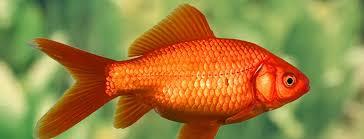 Как завести золотую <b>рыбку</b> в аквариуме — советы в Журнале ...