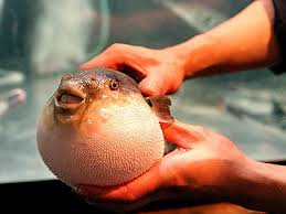 Fugu, the most delicious poison