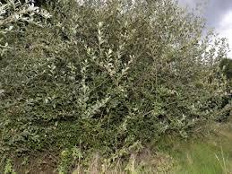 Grey willow (Salix cinerea subsp. oleifolia) - Woodland Trust