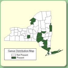 Muscari - New York Flora Atlas - University of South Florida
