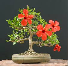hibiscus bonsai trees bought bonsai tree