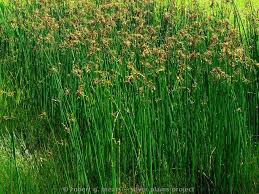Image result for hardstem bulrush