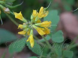 Trigonella corniculata - Cultivated Fenugreek