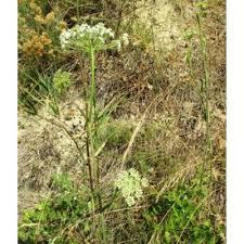 Genere Peucedanum - Flora Italiana
