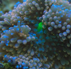 Ricordea florida and Ricordea yuma--<b>Flower mushroom</b> coral care